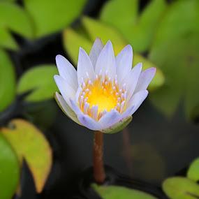 White Lotus by Assaifi Fajarmass - Flowers Single Flower ( white flower, nature close up, lotus flower, flower )