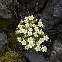 Mossy Saxifrage