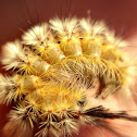 Douglas Fir Tussock Moth