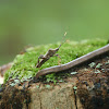 Leaf-footed Squash Bug