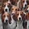 Beagle - Meute 2963a.jpg