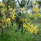 Blackwood (Acacia melanoxylon)