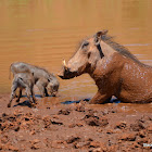 Warthog mommy taking a mud bath with her piglets