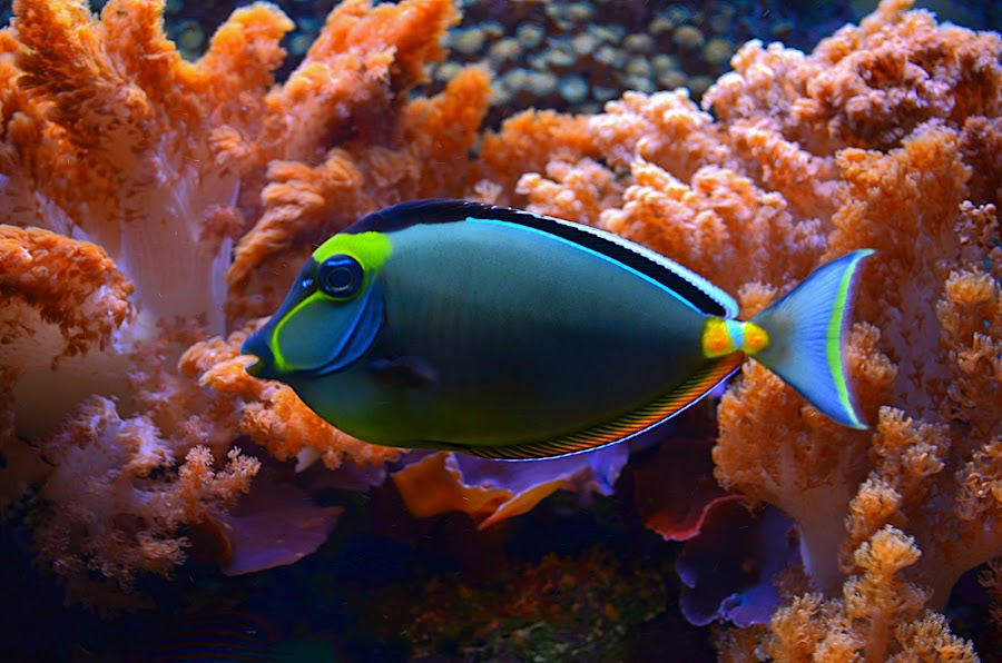 Naso Tang by Jennifer Parmelee - Animals Fish ( nature, fish, beauty, places, saltwater, tanks,  )