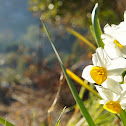 Nargis, Chinese Sacred Lily,  Jonquil, Lent lily