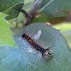 Gypsy Moth Caterpillar / Gusjenica