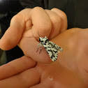 North Island lichen moth