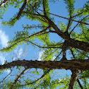 Morro tree