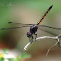 Yellow-tailed Ashy Skimmer