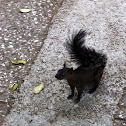 Mexican Fox Squirrel - melanistic