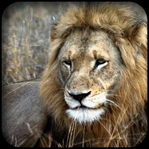 非洲獅子壁紙 LOGO-APP點子
