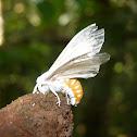 Moth - Polilla