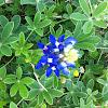 Texas Bluebonnet or Texas Lupine