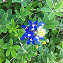 Texas Bluebonnet or Texas Lupine