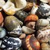 Slipper Winkle Shells