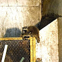 Raccoon Youngsters