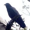 Forest Raven / Tasmanian Raven