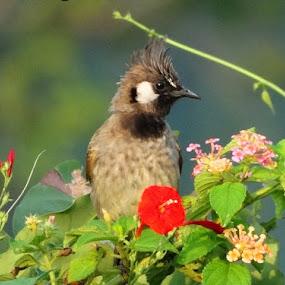 himalayan bulbul by Anthony Buongpui - Animals Birds ( bird, sitting,  )