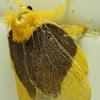 Limacodid moth