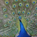 Indian Peafowl/Blue Peafowl (male)