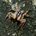 Pantropical jumping spider