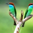 Birds of Aceh