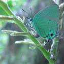 Deep-green Hairstreak butterfly