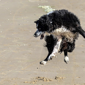 Jump in the air by Thyra Schoonderwoerd - Animals - Dogs Playing ( playing, bordercollie, beach, springtime )