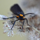 Yellow-collared scape moth (male)
