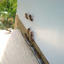 Russian Honey Bee