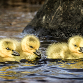 Goslings by Eugene Ball - Animals Birds ( water, goslings, geese, birds, chicks )
