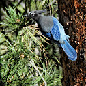Rocky Mountain Blue Jay