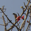 Rosy Pastor or Rosy Starling