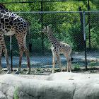 Giraffe w month old baby