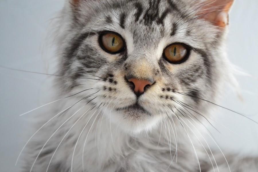 Benjen by Laura Viarisio - Animals - Cats Kittens ( pedigree, maine coon, silver tabby, black tabby, tabby )