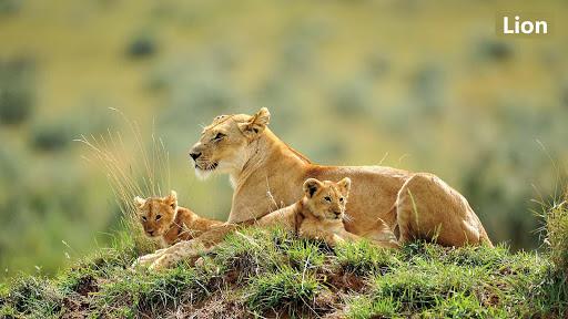 可愛的獅子壁紙
