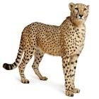cheetah HD Wallpaper icon