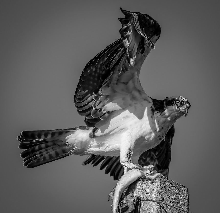 Danga' by Jared Lantzman - Black & White Animals ( osprey,  )