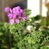 Rose-Scented Pelargonium?