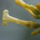 Mycetia