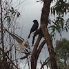 Fork tail drongo.