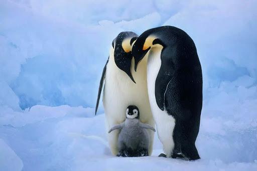 Cute emperor penguin wallpaper