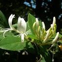 Lonicera caprifolium. Madreselva