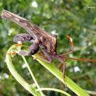 Giant leaf footed bug