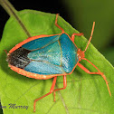 Red-bordered Stink Bug