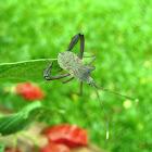 Bug chinche, ninfa