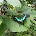 Green Swallowtail a.k.a The Peacock