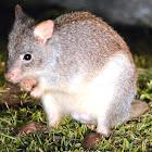 Rufous Bettong (Rufous Rat-Kangaroo)
