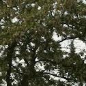 Valse acacia