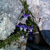 Viola cephalonica (Κεφαλληνιακή Βιόλα)